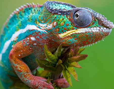 colorful-chameleon-thumb